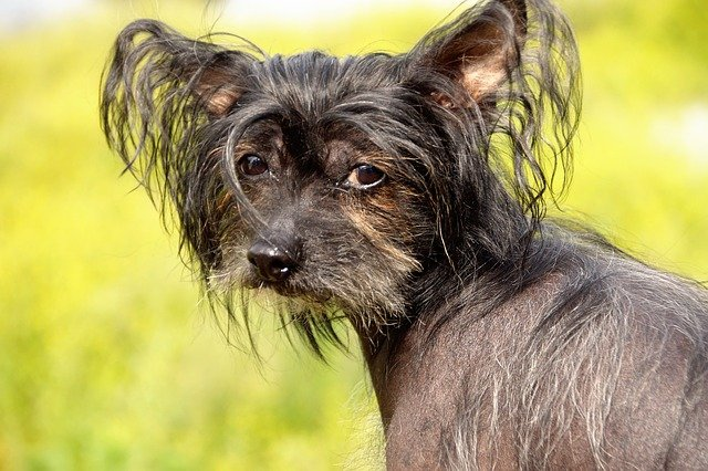 Dog breeds: Chinese Crested dog temperament and personality