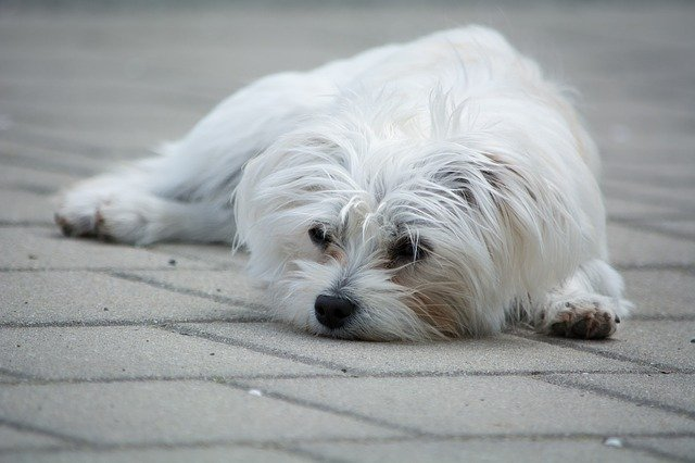 Malattia del cane che perde il pelo: quali sono le cause