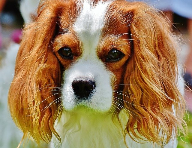 Razze Cani: il cane Cavalier King, carattere e prezzo