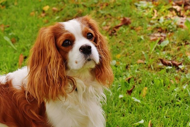 Dog breeds: Cavalier King Charles Spaniel dog