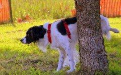 Le malattie urinarie del cane: sintomi e diagnosi