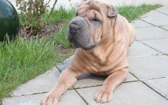 Dog breeds: Chinese Shar-Pei Dog temperament & personality