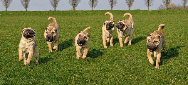 Razas de perros chinos: los más notables