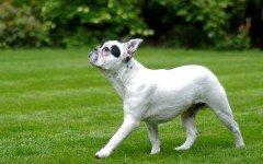 Razze Cani: il cane Bulldog Francese carattere e prezzo