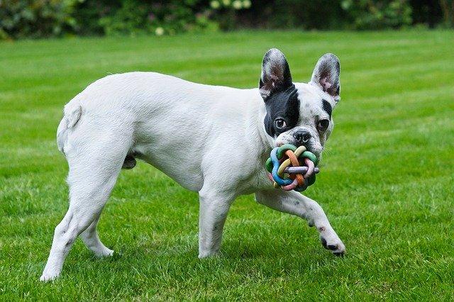 Giochi per cani bulldog: qualche idea per il nostro peloso