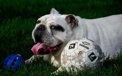 Come creare giochi intelligenti per cani fai da te