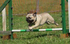 Educazione del cane carlino le nozioni fondamentali