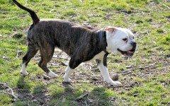 Malattie del cane zampe posteriori: l'atassia