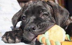 Cura del cane corso: prevenzione e alimentazione