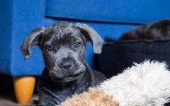 Malattie del cane Corso: quali sono le più diffuse?