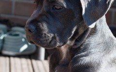 Cuccioli di cane corso: caratteristiche e attitudini