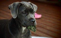 Le malattie tipiche del cane corso: quali sono?