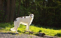 Dog breeds: The Borzoi dog temperament and personality