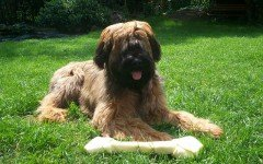 Dog breeds: the Briard Dog temperament and personality