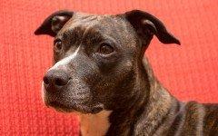 Giochi per cane Amstaff: il nascondino e i tre bicchieri