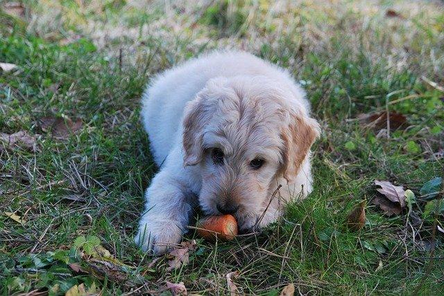 Alimentazione del cane verdure nella dieta di Fido