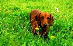 Alimentazione del cane bassotto cosa c'è da sapere