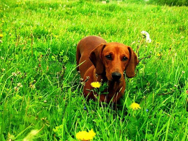 Alimentazione del cane bassotto cosa c da sapere dogalize for Bassotto cane