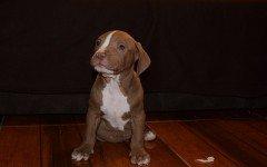 Pitbull cane cucciolo: stile di vita e come educarlo