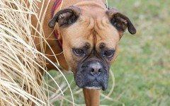 Malattie del cane Boxer: quali sono le più comuni?