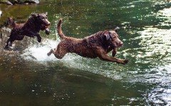 Dog breeds: Chesapeake Bay Retriever dog