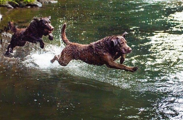 Dog breeds: Chesapeake Bay Retriever dog