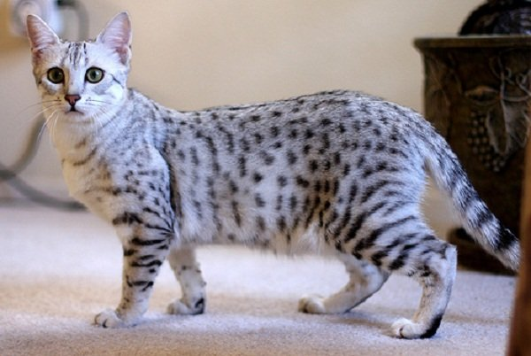 Cat breeds: the Egyptian Mau cat characteristics and personality