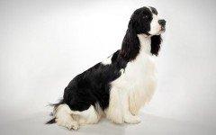 Razas de Perros: perro Springer Spaniel Ingles caracteristicas