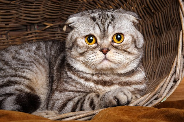 Cat breeds: the Foldex Cat characteristics and personality