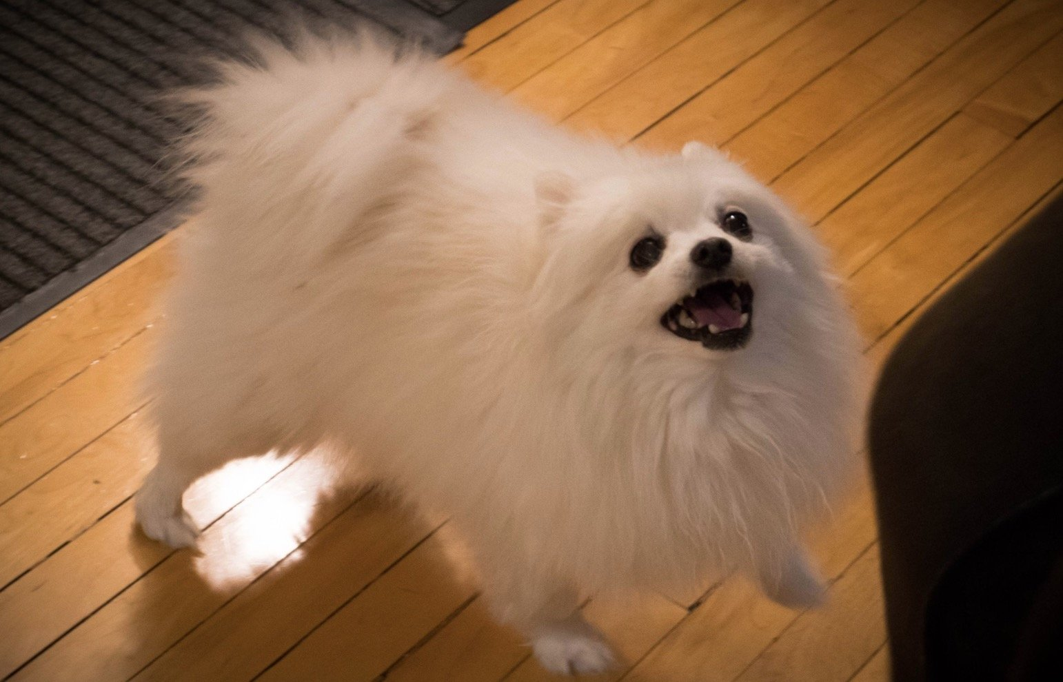 Gabe the dog was a miniature American Eskimo/Pomeranian mix who became an internet meme sensation after his owner posted videos of him barking.