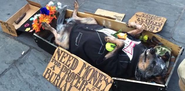 Perro se finge muerto para ayudar a su amo