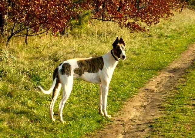 Razas de Perros: perro Galgo Hungaro caracteristicas y cuidados