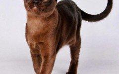 Razas Felinas: gato Habana Brown carácter y características gatos Habana Brown