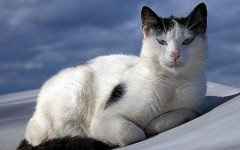 Cat breeds: the Aegean cat, characteristics and personality