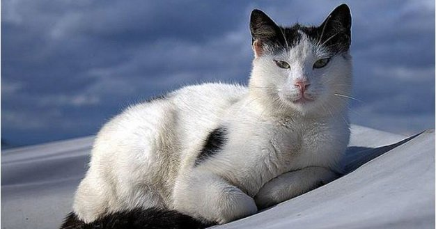 Aegean Cat Breed