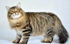 Razas Felinas: Gato Siberiano Caracter y Características gatos siberianos