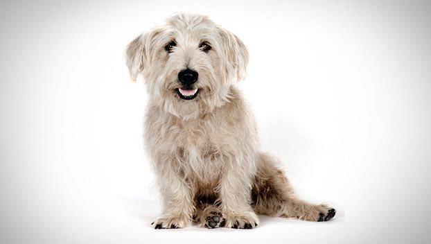 Razas de Perros: perro Glen of Imaal Terrier caracteriticas