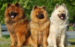 Razas de Perros: perro Eurasier caracteristicas y cuidados