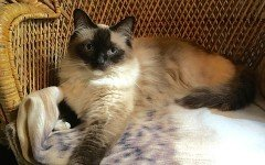 Cat breeds: the Himalayan cat characteristics and personality