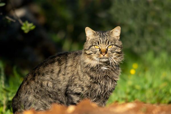 Razas Felinas: Gato montes caracter y caracteristicas gatos montes