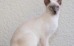 Cat breeds: Javanese cat characteristics and personality