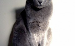 Cat breeds: the Korat cat characteristics and personality