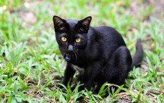 Cat breeds: the Korn Ja cat characteristics and personality