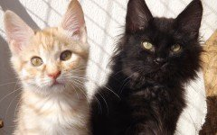Cat breeds: Kurilian Bobtail cat characteristics and personality