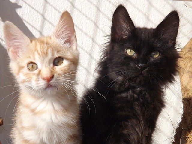 Cat breeds: Kurilian Bobtail cat characteristics and personality