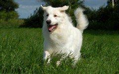 Razas de Perros: perro Kuvasz caracteristicas y cuidados