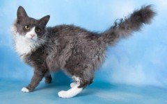 Cat breeds: LaPerm Cat characteristics and personality
