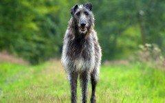 Razas de Perros: perros Lebrel Escoces caracteristicas y cuidados