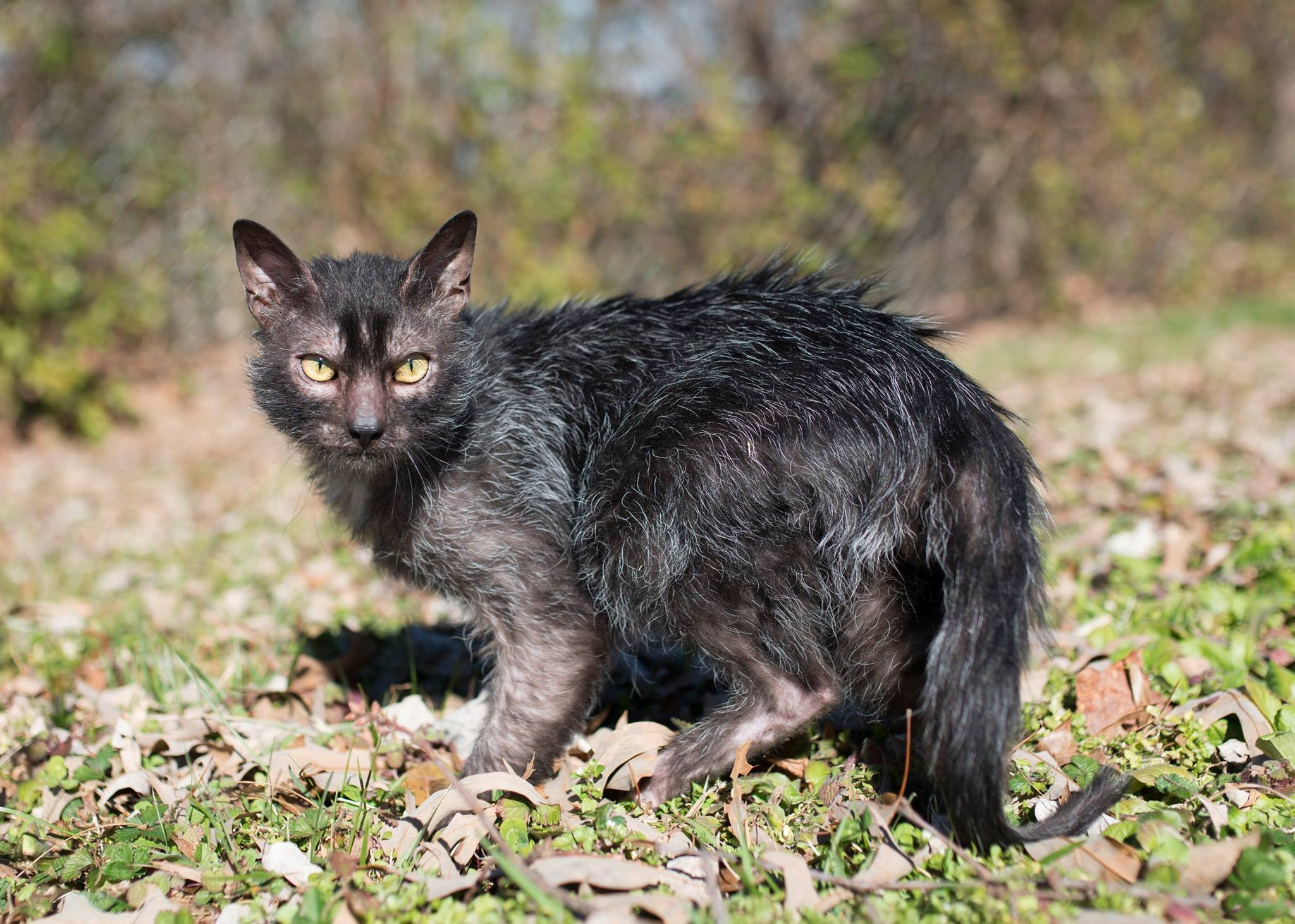 Cat breeds: Lykoi Cat characteristics and personality