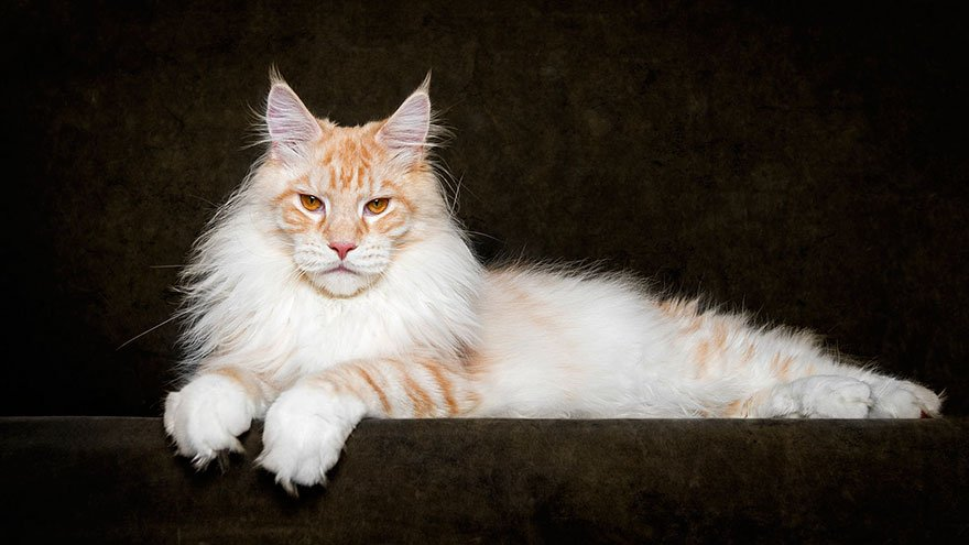 Razas Felinas: Gato Maine Coon Caracter y Características
